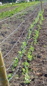 row of peas